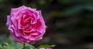 Sluit omhoog Geschoten van een Roze Rose With Copy Space On-Rechterkant stock fotografie