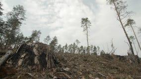 Sluit omhoog geschoten van enige boomstomp in een afgesneden pijnboom boswildernis, schoonheid in aard en milieuconcept stock video
