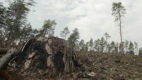 Sluit omhoog geschoten van enige boomstomp in een afgesneden pijnboombos stock footage