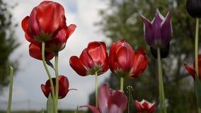 Sluit omhoog geschoten van groep mooie bloeiende rode tulpen in de tuin in de lente Windslagen op bloemrijke tulpenhoofden in de  stock videobeelden