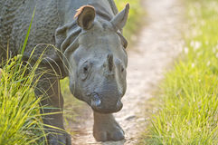 Sluit omhoog geschoten van Indische Rinoceros Stock Afbeeldingen