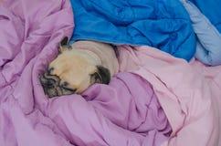 Sluit omhoog gezicht van de leuke grappige puppypug rust van de hondslaap op bed met tong uit en omslagdeken wegens weerkoude Pug royalty-vrije stock afbeeldingen