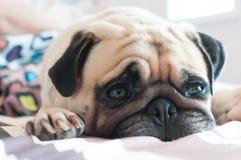 Sluit omhoog gezicht van de Leuke pug slaap van de puppyhond op het bed Royalty-vrije Stock Fotografie