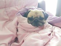 Sluit omhoog gezicht van leuke pug van het hondpuppy slaaprust op bankbed met Stock Afbeelding