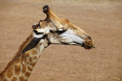 Sluit omhoog girafhoofd Stock Fotografie