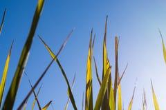 Sluit omhoog gouden Japanse die Bladeren van rijst van onder met blauwe hemel en exemplaarruimte wordt geschoten royalty-vrije stock fotografie