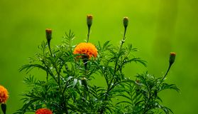 Sluit omhoog goudsbloembloemen, Tropische bloemen die op het organische padieveld en de Groene bladerenachtergrond groeien royalty-vrije stock afbeelding