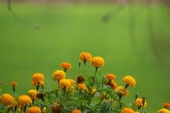 Sluit omhoog goudsbloembloemen, Tropische bloemen die op het organische padieveld en de Groene bladerenachtergrond groeien stock foto's