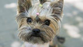 Sluit omhoog grappig puppy Yorkshire Terrier in stoep in een park kijkend in een camera Royalty-vrije Stock Foto