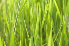Sluit omhoog gras Stock Foto