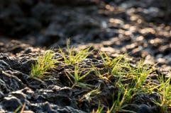 Sluit omhoog gras op de overzeese rots Royalty-vrije Stock Fotografie