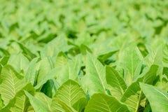 Sluit omhoog groen de tabaksgebied van FO met onduidelijk beeldachtergrond Stock Foto's