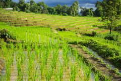 Sluit omhoog groen padiepadieveld Chiang Mai, Thailand Selectief nadrukpunt Stock Fotografie
