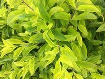 Sluit omhoog groene bladeren Stock Afbeelding