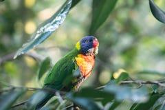 Sluit omhoog Groene de regenboog wilde Papegaai van Australië of lorikeet, op a stock fotografie