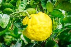 Sluit omhoog Groot Mandarijn oranje fruit in oranje landbouwbedrijf in islan Jeju Stock Foto's