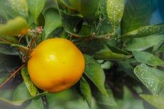 Sluit omhoog Groot Mandarijn oranje fruit in oranje landbouwbedrijf in islan Jeju Royalty-vrije Stock Foto