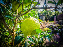 Sluit omhoog Groot Mandarijn oranje fruit in oranje landbouwbedrijf in islan Jeju Stock Foto