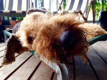 Sluit omhoog grote zwarte neus en harig gezicht van huisdierenhond slaap en uit het koelen Royalty-vrije Stock Afbeelding