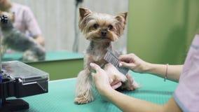 Sluit omhoog handen van groomer kammend bont op poten van hond Yorkshire Terrier in huisdier het verzorgen salon stock footage