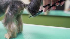 Sluit omhoog handen van het haar van groomerbesnoeiingen met schaar op staart van kleine hond Professiona dierlijke zorg stock videobeelden