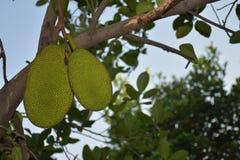 Sluit omhoog hefboom-fruit Royalty-vrije Stock Foto's
