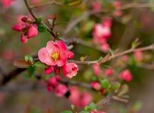 Sluit omhoog heldere mooie eerste roze bloeiende bloemen stock foto