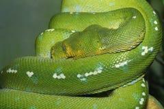 Sluit omhoog het groene slangwild Royalty-vrije Stock Afbeeldingen
