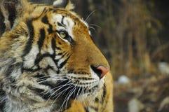 Sluit omhoog het profiel van het tijgergezicht Royalty-vrije Stock Foto