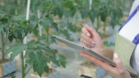 Sluit omhoog het schieten van handen van deskundige controlesvoorwaarde van tomatenbladeren stock footage