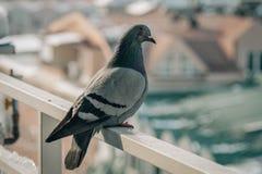 Sluit omhoog hoofd van de mooie vogel die van de snelheidspostduif wordt geschoten Royalty-vrije Stock Foto