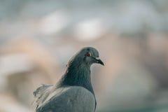 Sluit omhoog hoofd van de mooie vogel die van de snelheidspostduif wordt geschoten Royalty-vrije Stock Afbeeldingen