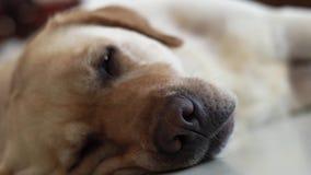 Sluit omhoog hoofd van de slaperige hond die van Labrador op vloer liggen en camera onderzoeken Snuit en neus de hondslaap van La stock video