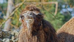 Sluit omhoog hoofd van kameel in dierentuin stock video