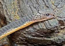 Sluit omhoog Hoofd van Koning Cobra op de Rots royalty-vrije stock afbeeldingen
