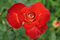 Sluit omhoog hoogste mening van een half-open bloem oranjerode rozen na r royalty-vrije stock fotografie
