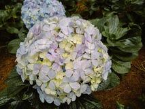 Sluit omhoog Hydrangea hortensiabloemen in Tuin stock afbeelding