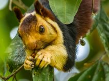 Sluit omhoog: Indica Ratufa of Malabar-eekhoorn het smakken stock foto's