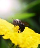 Sluit omhoog insectzwarte Stock Foto