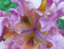 Sluit omhoog Iris Royalty-vrije Stock Fotografie