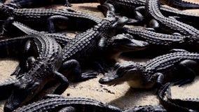 Sluit omhoog Jonge Aligators Togethsr stock footage