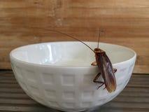 Sluit omhoog kakkerlak bij rand van witte kom royalty-vrije stock foto's