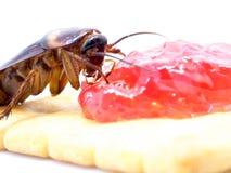 Sluit omhoog kakkerlak op het gehele tarwebrood met jam De kakkerlakken zijn dragers van de ziekte stock foto's