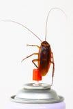 Sluit omhoog kakkerlak op wit, Voorn wordt geïsoleerd gewonnen pesticiden dat Royalty-vrije Stock Afbeelding