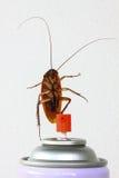 Sluit omhoog kakkerlak op wit, Voorn wordt geïsoleerd gewonnen pesticiden dat Royalty-vrije Stock Foto