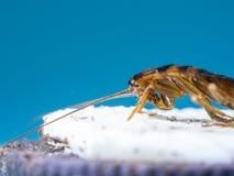 Sluit omhoog Kakkerlakken eten de witte room van het koekje, de blauwe achtergrond stock fotografie