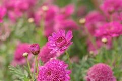 Sluit omhoog Kanariemadeliefje in volledige bloei bij zonsopgang met waterdalingen stock foto