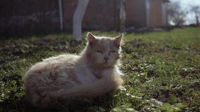 Sluit omhoog kat terwijl het slapen na het vechten met andere kat, heeft de kat verwond wat De kat is na een strijd die liggen stock video