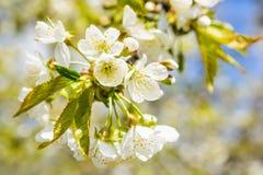 Sluit omhoog kersenbloesem met vage achtergrond stock fotografie