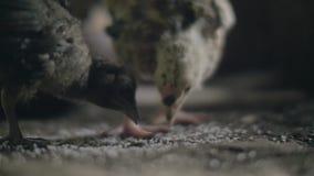 Sluit omhoog kippen pikkend korrel op vloer in de landbouw van schuur Voedende kippen op gevogeltelandbouwbedrijf Kwekende binnen stock video